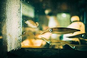 泳ぎ烏賊の活造り
