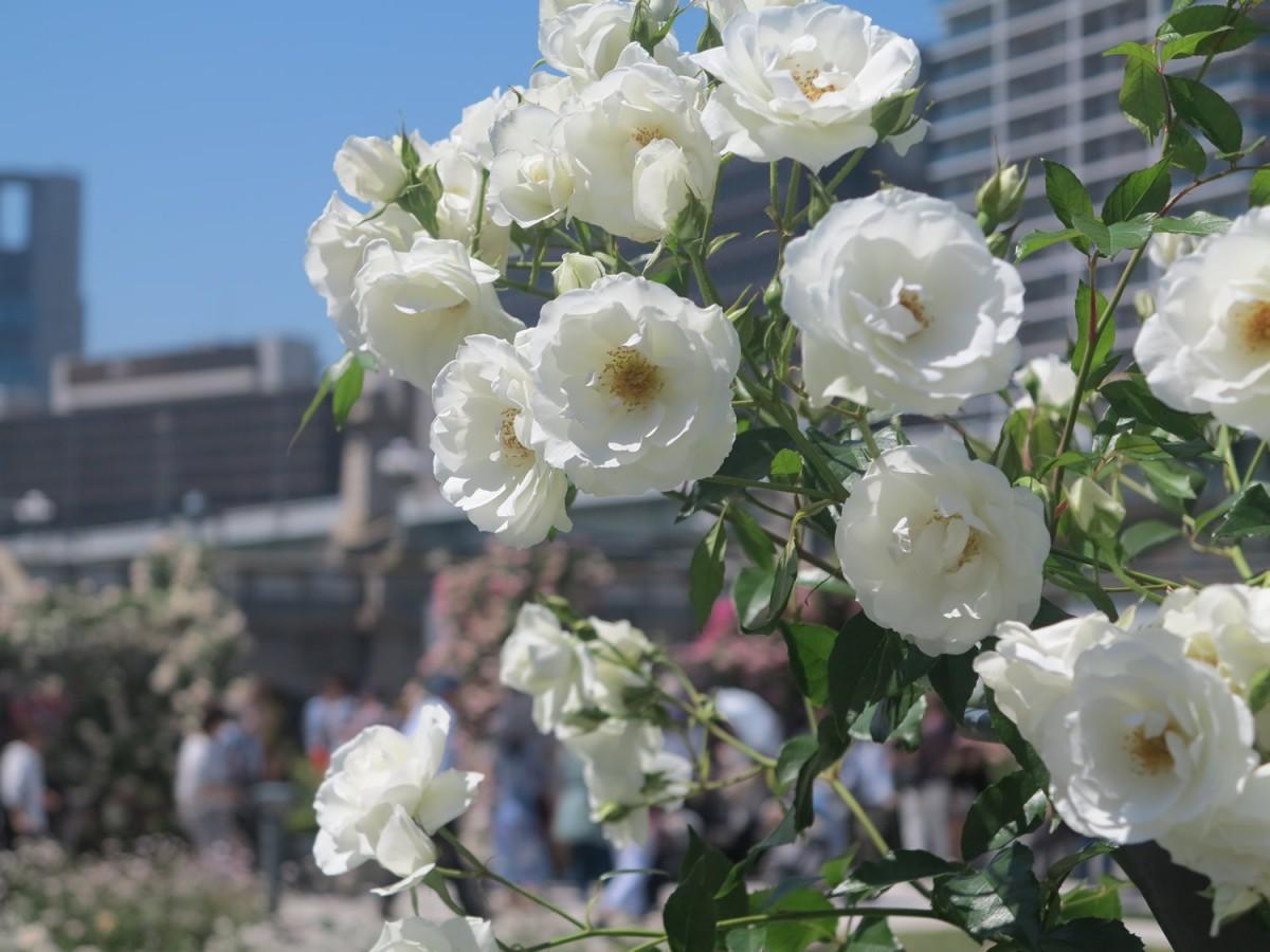 花盛りのバラ園へ
