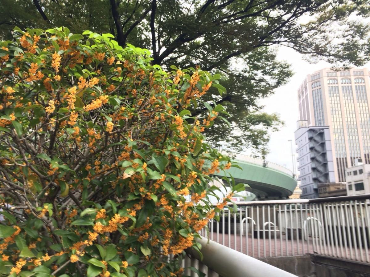 中之島 秋の香り