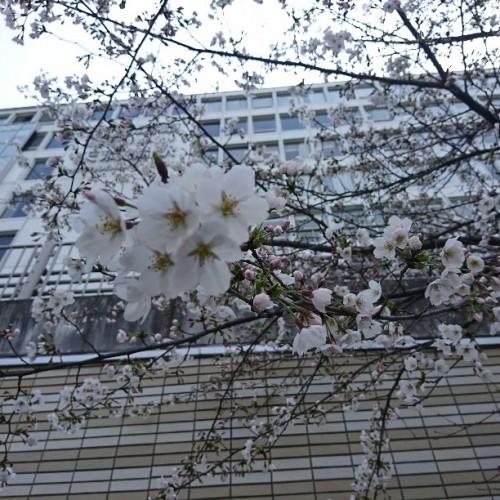 はちけんや、に春が来た!